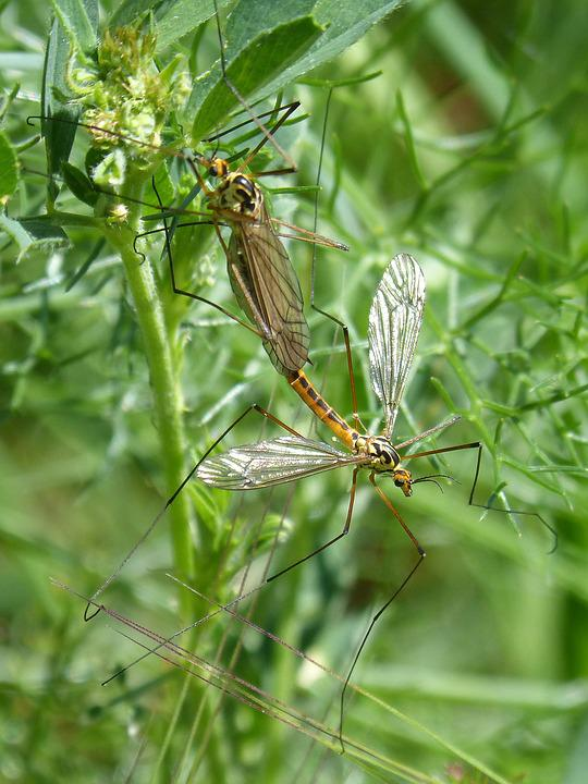 Típula, Tipulidae, Giant Mosquito, Insects Mating