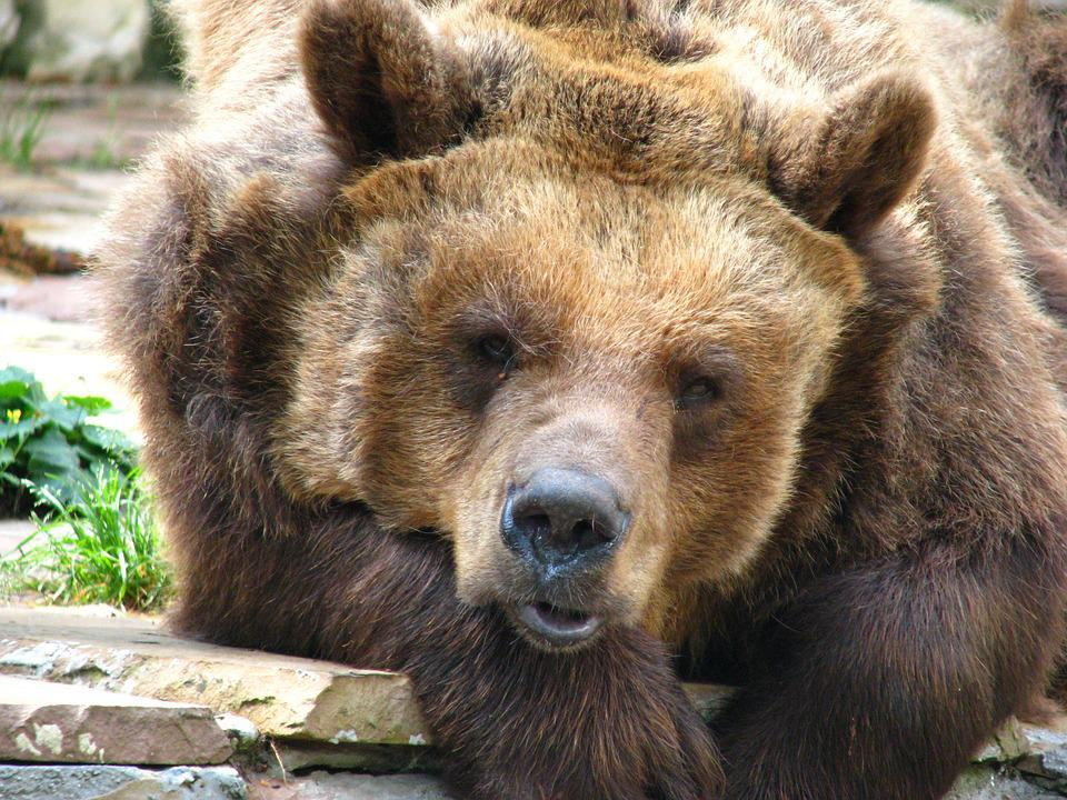 Brown Bear, Bear, Predator, Zoo, Animal World, Tired
