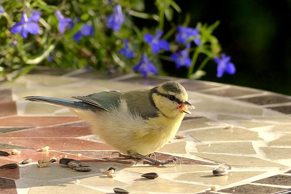 Animal, Bird, Tit, Blue Tit, Cyanistes Caeruleus, Young