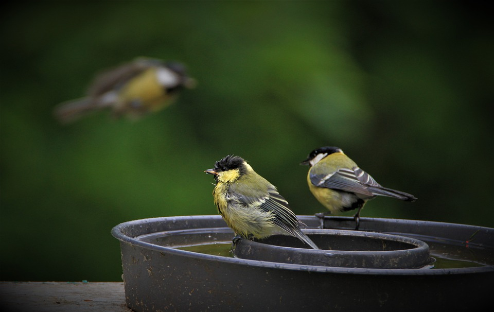 Tit, Titmouse Family, Bird Family, Water Bath, Swim