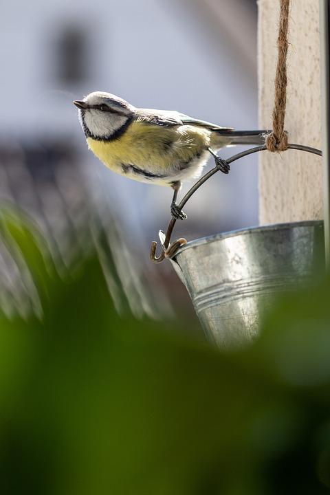 Blue Tit, Bird, Tit, Songbird, Animal, Garden