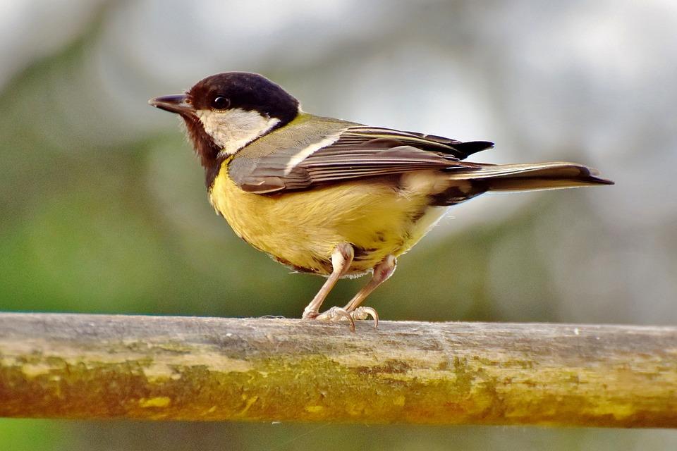 Tit, Songbird, Bird, Small Bird, Bill, Garden, Cute