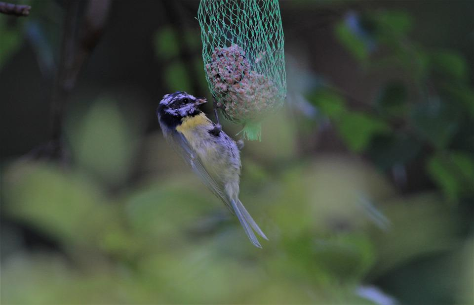 Blue Tit, Tit, Songbird, Feed Dumplings, Bird, Animal