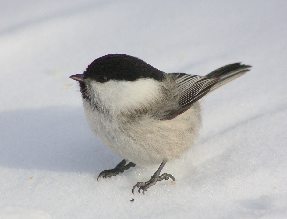 Willow Tit, Tit, Willow, Tit Willow, Bird, Wildlife