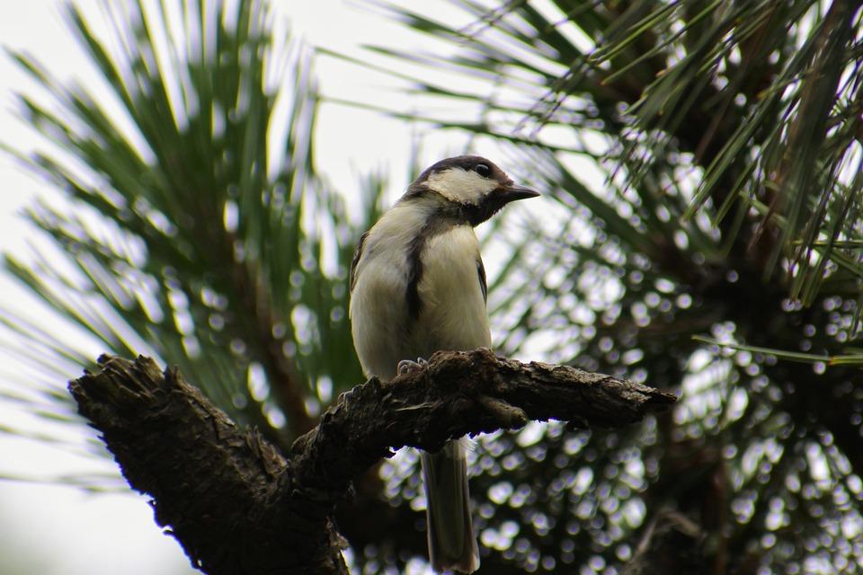 Animal, Forest, Pine, Branch, Little Bird, Tits