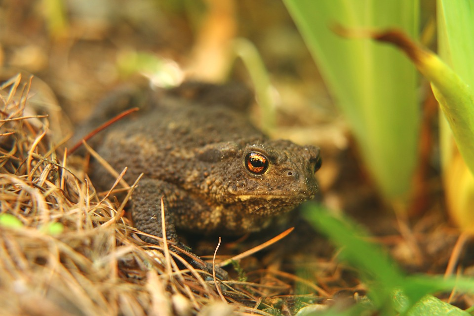 Toad, Frog, Frog Eyes, Spring, Animal, Nature