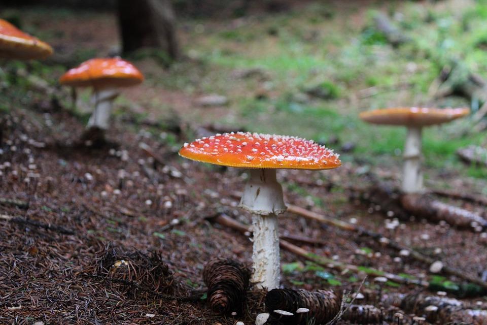Fungus, Forest, Toadstool, Mushrooms