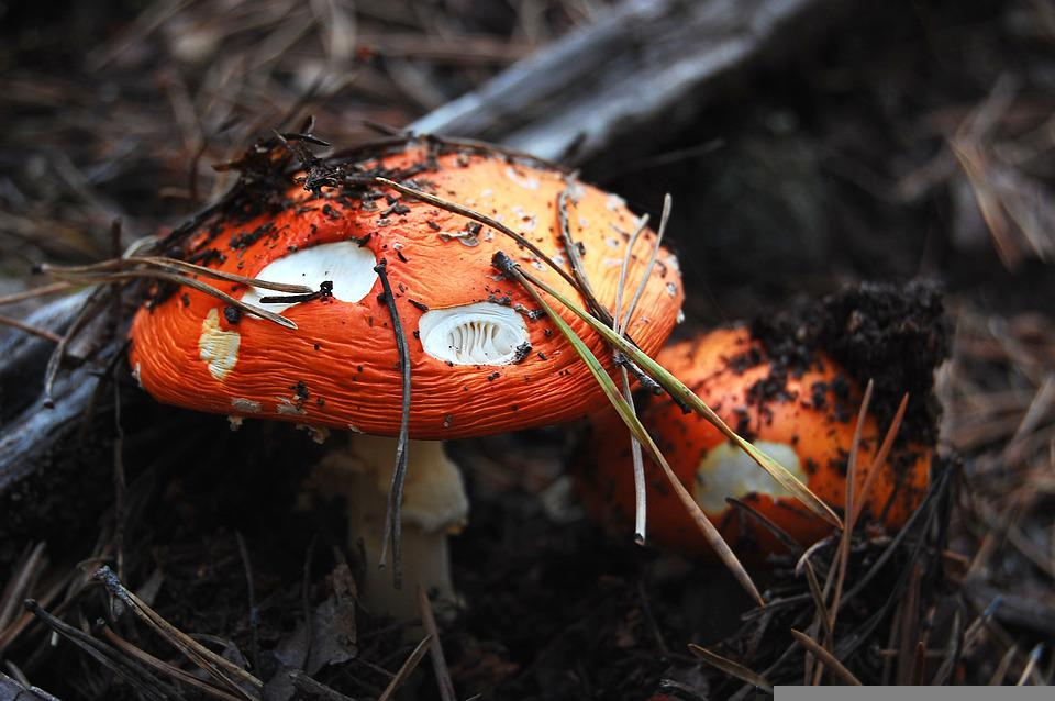Mushrooms, Plants, Toadstool, Mycology, Forest, Wild