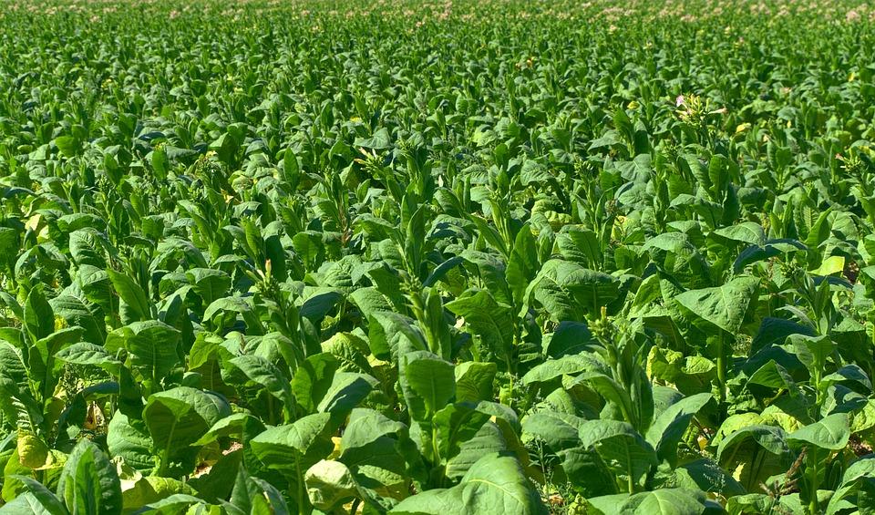 Tobacco, Field, Tobacco Plantation, Cigarettes