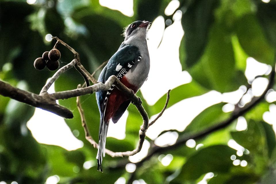 Cuba, Matanzas, Cienaga De Zapata, Bird, Tocororo