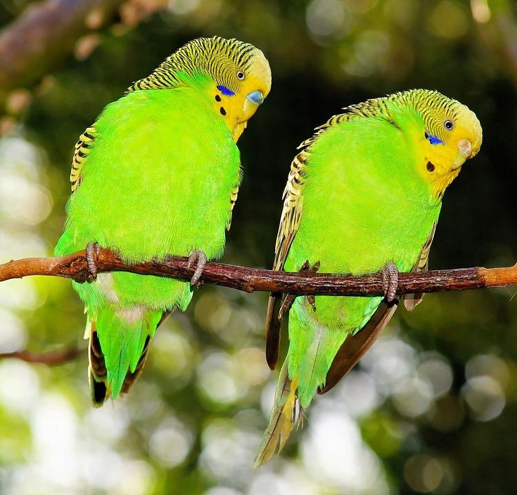 Birds, Budgerigars, Green, Green Bird, Together