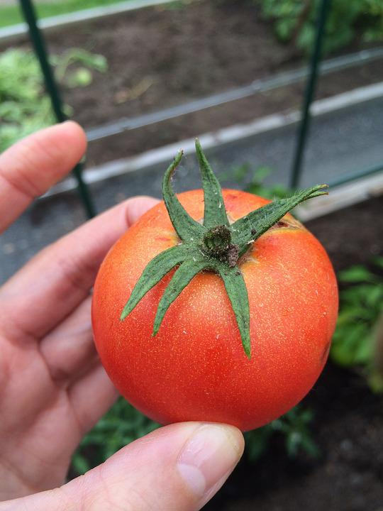 Tomato, Grow, Greenhouse, Cultivation, Garden