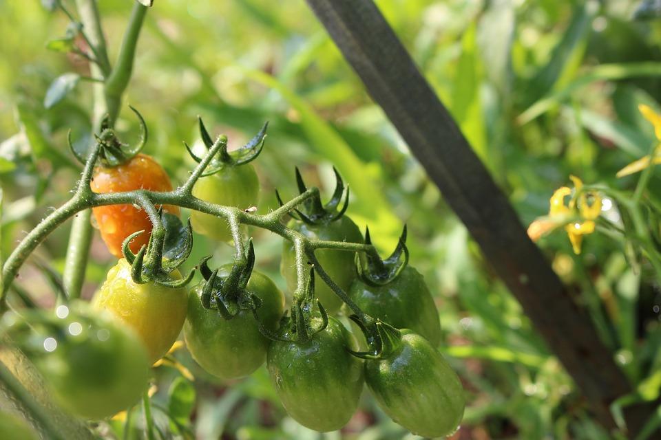 Tomato, Fruit