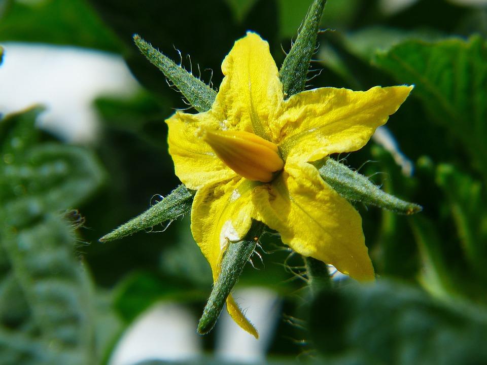 Tomato, Tomato Flower, Light Fruit, Yellow, Summer
