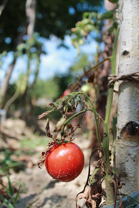 Tomatoes, Nature, Vegetable, Garden, Summer, Vitamin