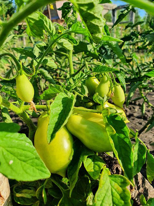 Tomatoes, Green, Yellow, Bush, Vegetable Garden