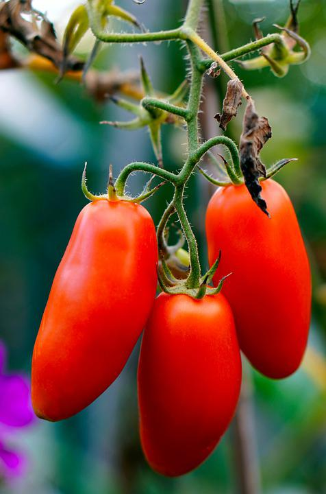 Tomatoes, Ripe, Vegetables, Red Tomatoes, Harvest