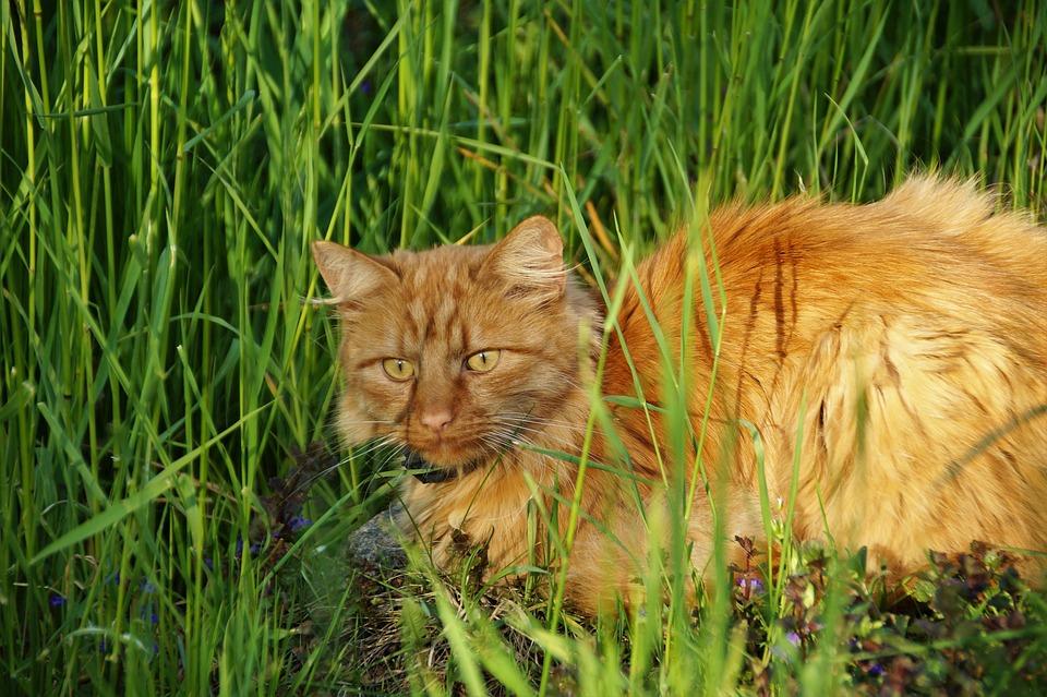 Cat, Redheaded, Tomcat, Pet, Home, Piercing, Eyes