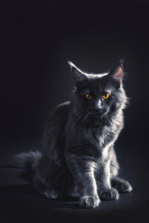 Free photo Tomcat Kitty Black Maine Coon Kitten Gray Cat - Max Pixel