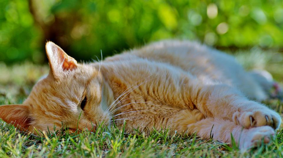 Cat, Tomcat, The Red-haired, Tired Of The, Sleeping
