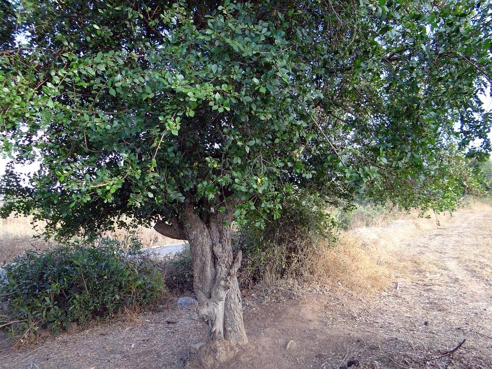 Toothbrush Tree, Sandpaper Tree, Streblus Asper