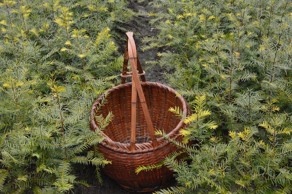 Torreya Trees, Tea Basket, Sapling
