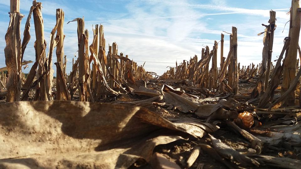 Torsos, Field, Corn