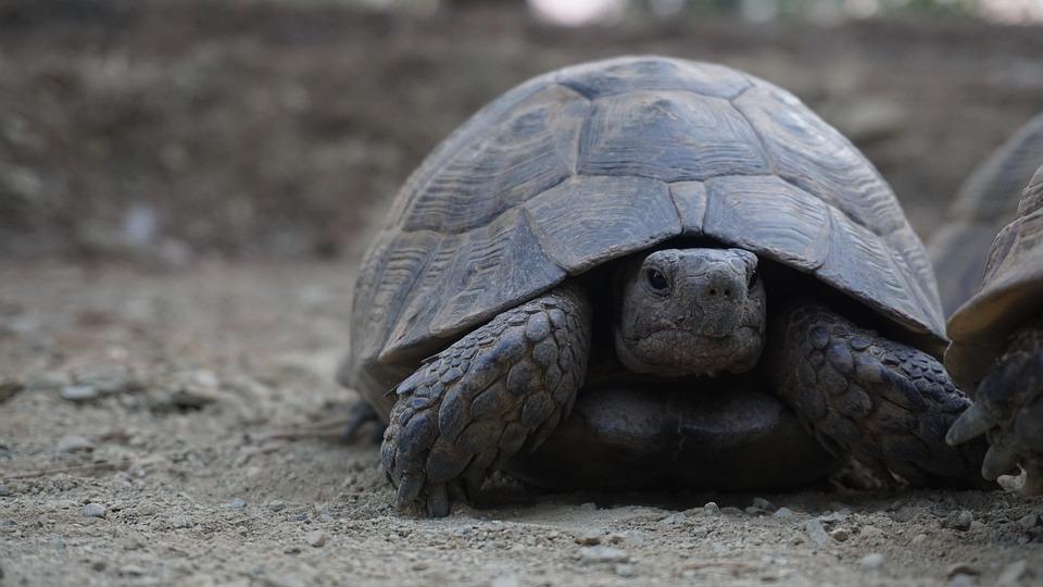Animal, Tortoise, Nature