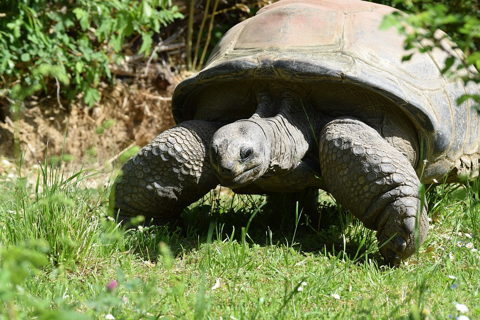Tortoise, Turtle, Armored, Giant, Reptile, Animal, Egg