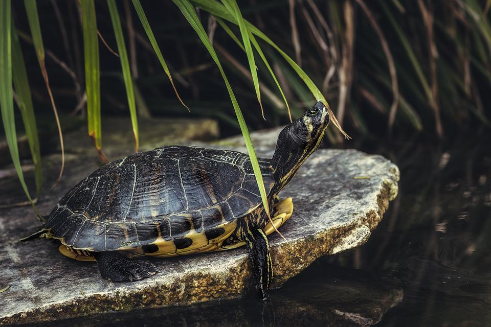 Turtle, Tortoise, Reptile, Shell, Pond, Nature, Slow