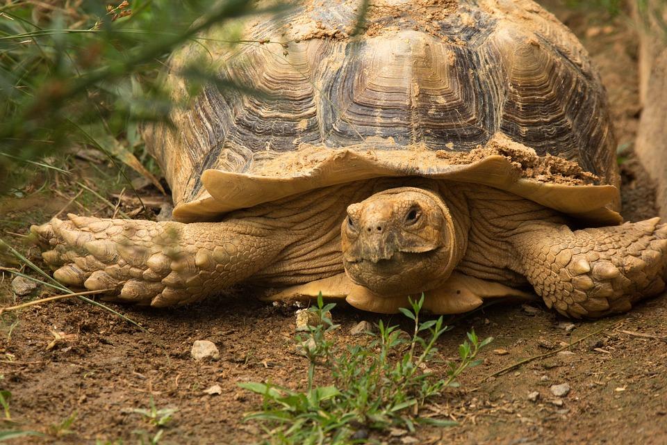 Turtle, Reptile, Tortoise, Animal