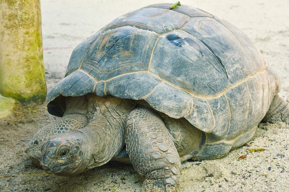 Tortoise, Shell