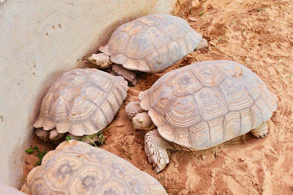 Turtle, Tortoise, Shell, Reptile, Slow