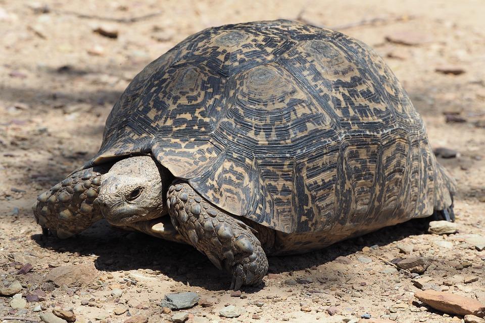 Turtle, South Africa, Tortoise, Safari, Wild