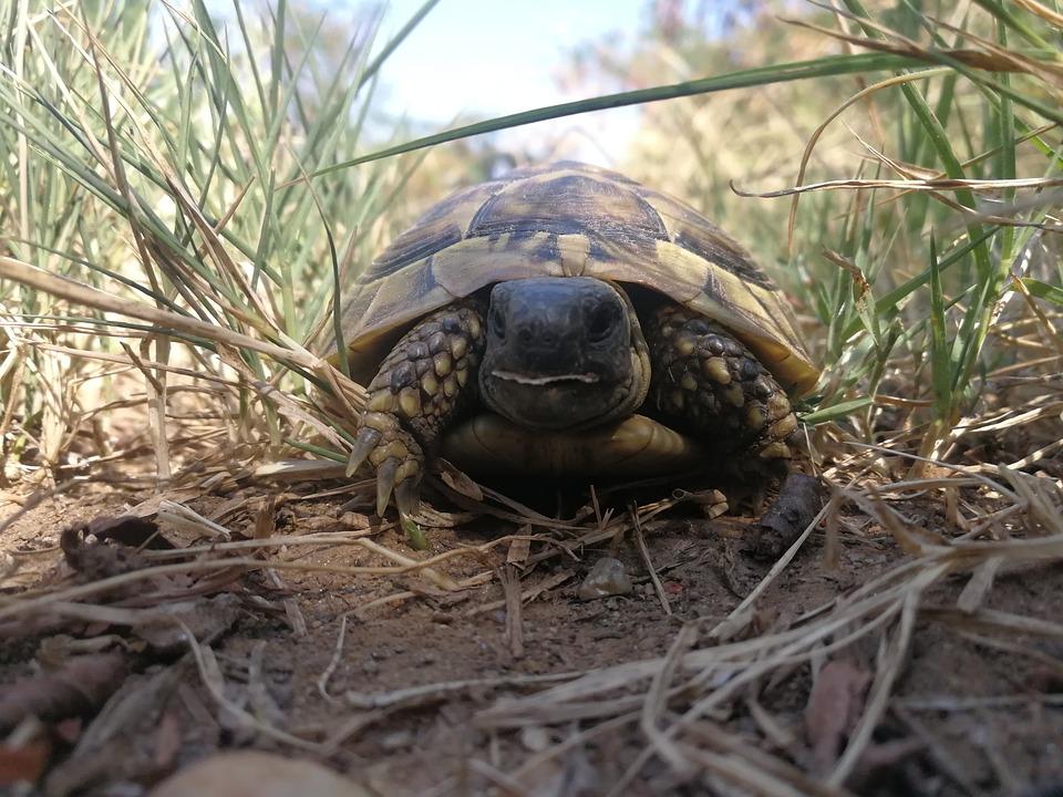 Turtle, Tortoise, Turtles