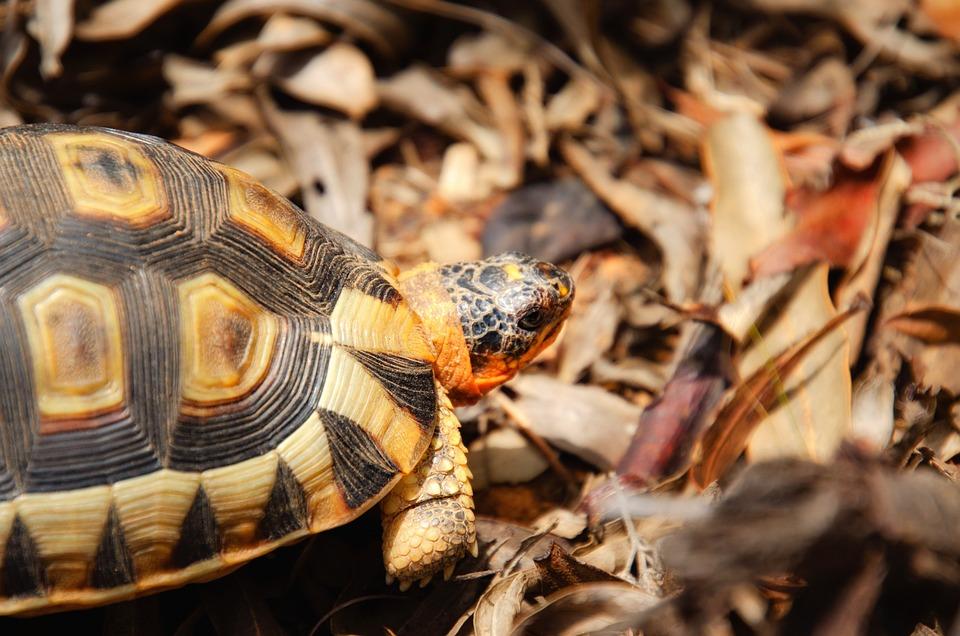 Tortoise, Angulate Tortoise, Western Cape, South Africa