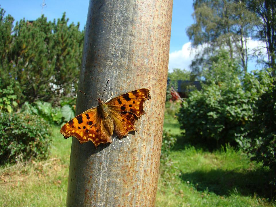 Butterfly, Insect, Tortoiseshell, Nature