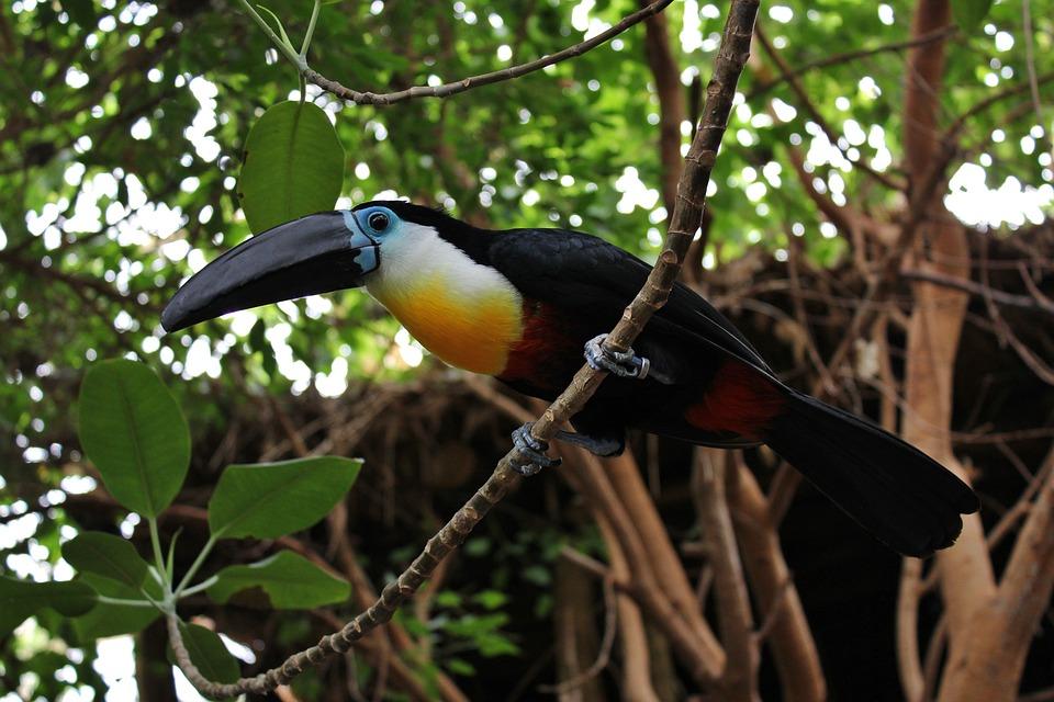 Bird, Toucan, Zoo, Zoo Duisburg, Color