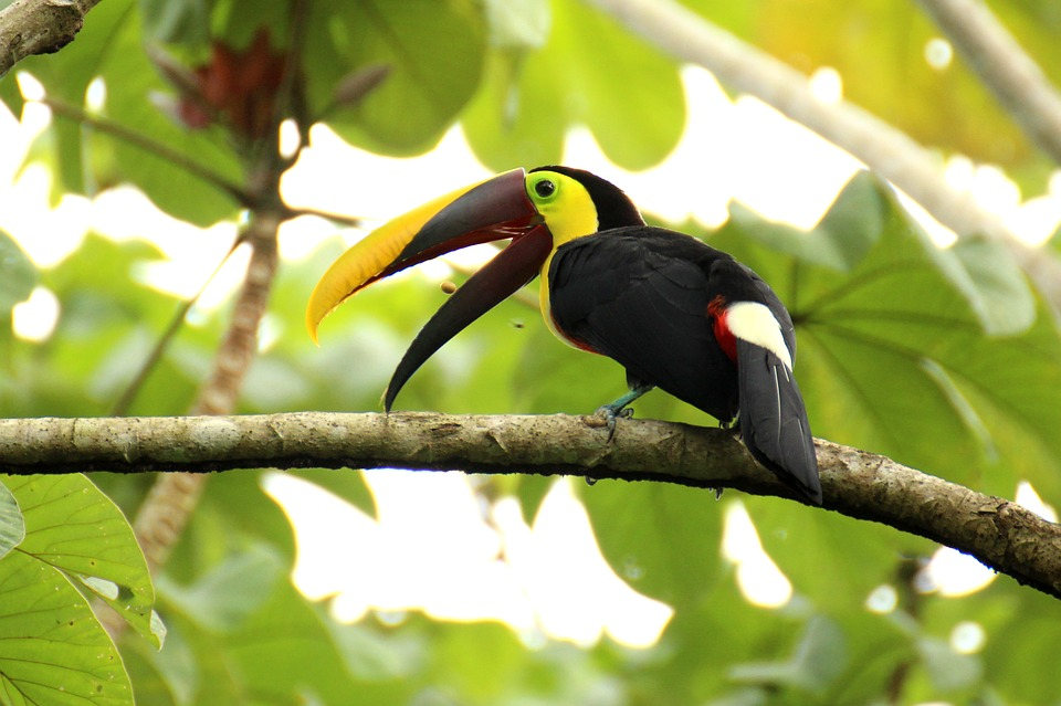Toucan, Brown Back-toucan, Costa Rica, Middle America