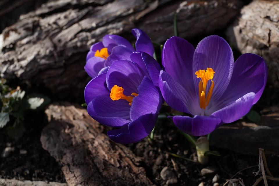 Crocus, Purple, Toxic, Spring, Blossom, Bloom