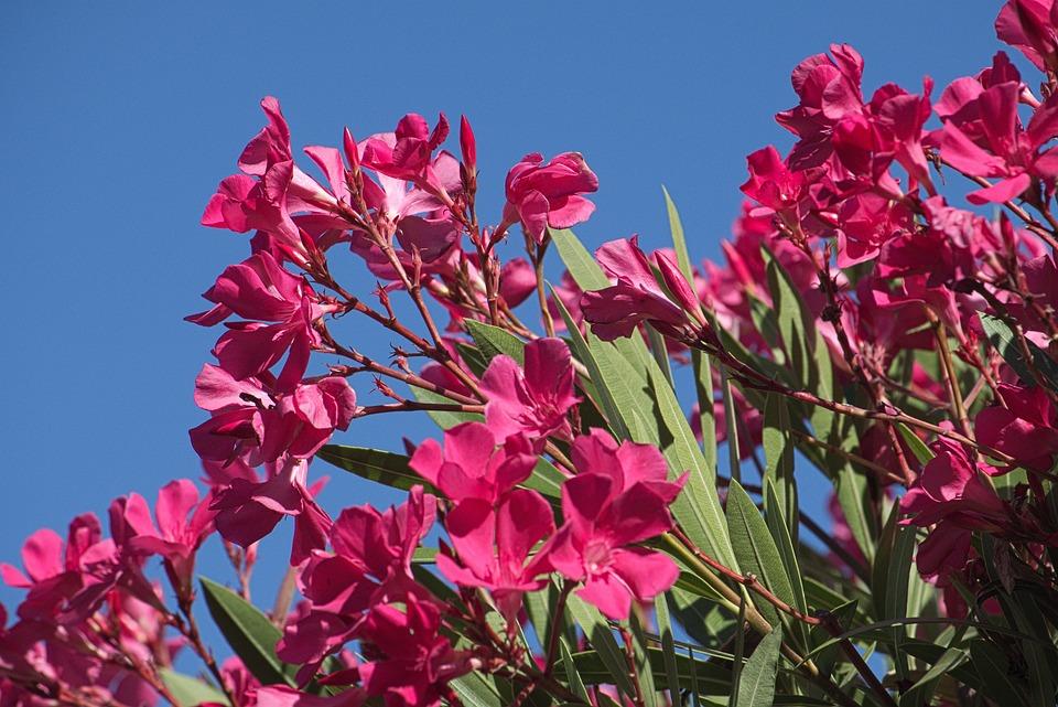 Flowers, Oleander, Petals, Green, Toxic, Flower