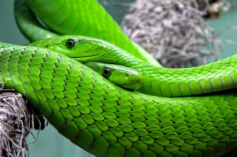 Snake, Mamba, Green Mamba, Toxic, Lizard, Reptile