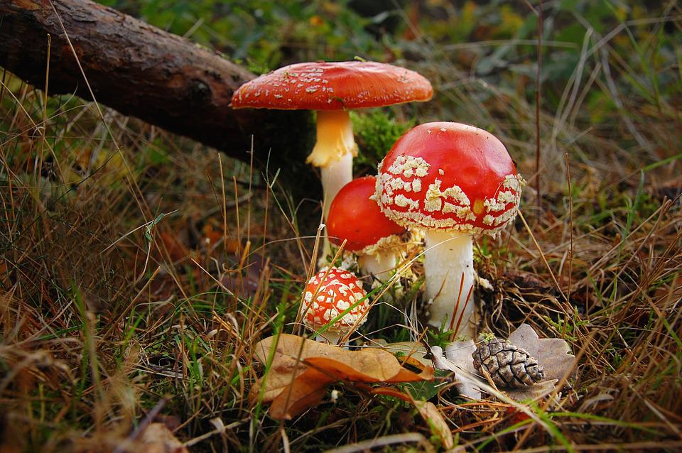 Fly Agaric, Forest, Nature, Toxic, Mushroom, Red