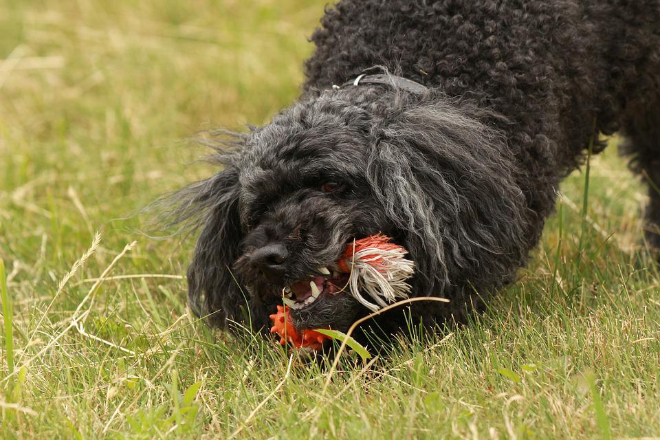 Poodle, Play, Toys, Dog