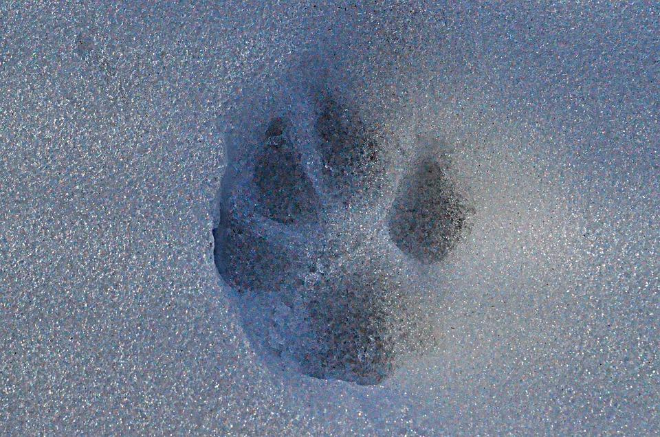 Snow, Track, Paw
