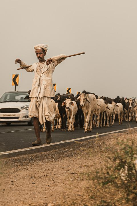 India, Fashion, Culture, Traditional, Vintage, Cattle