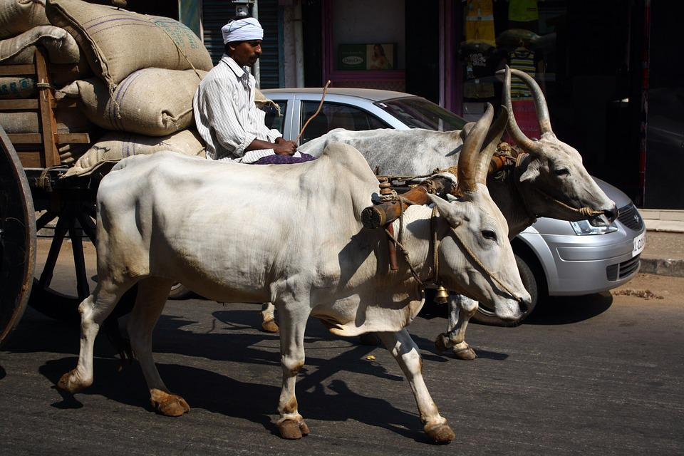 Cow, Indian Transport, Traditional Versus Modern