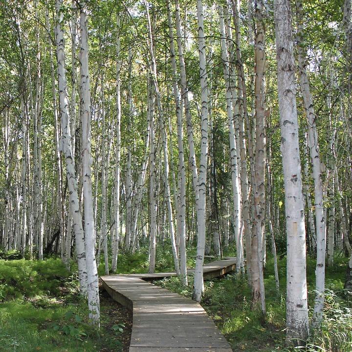 Birch Trees, Creamers Field, Fairbanks, Path, Trail