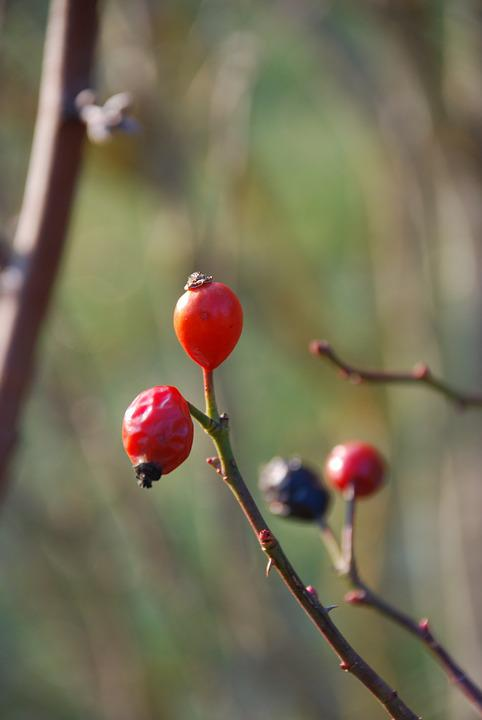 Rose Hip, Autumn, Transience, Autumn Fruits, Wild Rose