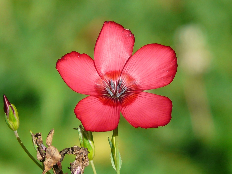 Red Lein, Blossom, Bloom, Flower, Red, Translucent